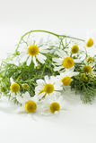 Fresh chamomile Stock Photos