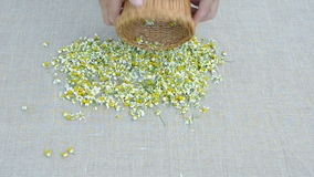 Fresh chamomile medical blossoms on linen cloth stock video