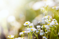 Fresh chamomile, spring background. Stock Image