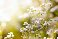 Fresh chamomile, spring background. Royalty Free Stock Image
