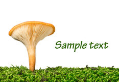Fresh chanterelle on the grass Stock Photo