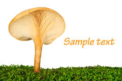 Fresh chanterelle on the grass Stock Photos