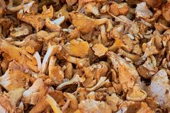chanterelle mushrooms picture background royalty free stock photos