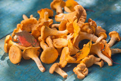 Fresh chanterelle mushrooms Stock Image