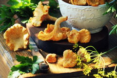 Fresh chanterelle mushrooms Royalty Free Stock Image