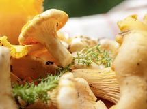 Fresh chanterelle mushrooms are on the table. Mushroom processing stock photography