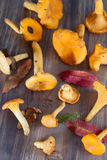 Fresh chanterelle Royalty Free Stock Photography