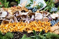 Fresh chanterelles and Cauliflower mushroom exposed in baskets o Royalty Free Stock Photo