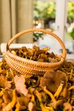 Fresh chanterelles on the kitchen table. Close up of fresh chanterelles on the kitchen table in a basket royalty free stock photo
