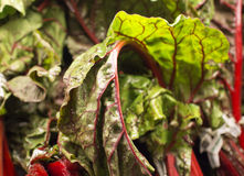 Fresh chard at the market. Some fresh chard at the market royalty free stock photos