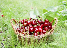 Fresh Cherries in Basket Stock Images