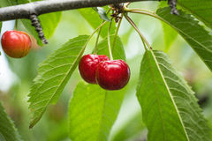 Fresh Cherries on branch. Royalty Free Stock Photo
