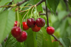 Fresh Cherries on branch. Stock Images