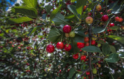 Fresh Cherries. A branch of red and green cherries Royalty Free Stock Photo