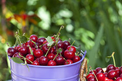 Fresh cherries in a bucket Royalty Free Stock Images