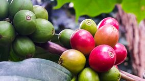 Fresh cherries coffee beans in the garden. Organic red coffee cherries on tree branch in the garden,Thailand Stock Photography