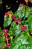 Fresh cherries coffee beans with sunlight. Organic red coffee cherries on tree branch in the garden,Thailand Stock Photos