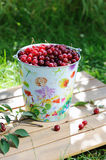 Fresh cherries in a colored bucket Stock Image