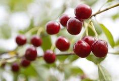 Fresh cherries fruit. On the branch Stock Photos