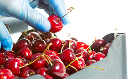 Fresh cherries. Fruit picking up some fresh cherries to sell Royalty Free Stock Photo