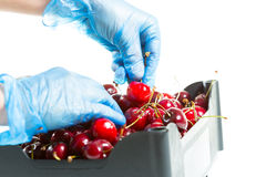 Fresh cherries. Fruit picking up some fresh cherries to sell Royalty Free Stock Image