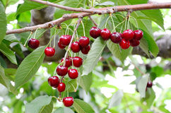 Fresh Cherries hang on tree Royalty Free Stock Photos