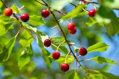 Fresh cherries hanging in a green tree in sunlight royalty free stock photography