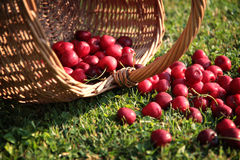 Fresh cherries. Fresh sweet cherries in garden on green grass Royalty Free Stock Photo