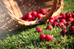 Fresh cherries. Fresh sweet cherries in garden on green grass Stock Images