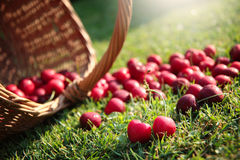 Fresh cherries. Fresh sweet cherries in garden on green grass Stock Photo