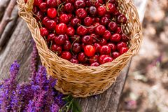 Fresh cherries in a wooden bascket. royalty free stock photos
