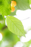 Fresh Cherry And Leaves Stock Images