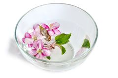 Fresh cherry or apple blossoms floating in the glass bowl with w. Fresh pink cherry or apple tree flowers floating in the glass bowl with water. Spa treatment Stock Image