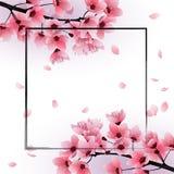 Fresh Cherry blossom, sakura flowers on white background Stock Images