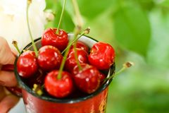 Fresh cherry in cup on green summer background. fresh sweet ripe cherries. warm day stock photos