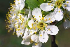Fresh cherry flower Stock Image