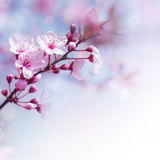 Fresh cherry flowers border Royalty Free Stock Image