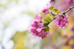 Fresh cherry flowers border Stock Photography