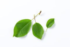 Fresh cherry leaves Royalty Free Stock Photo
