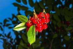 Fresh cherry Stock Photos