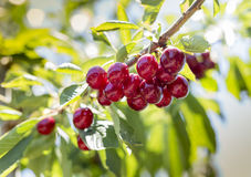 Fresh cherry from orchard. Fresh red cherry on the tree in a orchard royalty free stock image