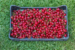 Fresh cherry after picking Stock Images