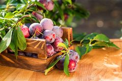 Fresh cherry plums in wooden box close. Close up freshly picked cherry plums in wooden box. Selective focus. Healthy vegetarian summer diet royalty free stock photos