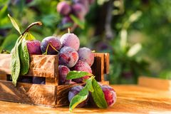 Fresh cherry plums in wooden box close. Close up freshly picked cherry plums in wooden box. Selective focus. Healthy vegetarian summer diet royalty free stock images