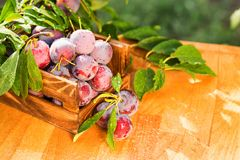 Fresh cherry plums in wooden box close. Close up freshly picked cherry plums in wooden box. Selective focus. Healthy vegetarian summer diet stock photography