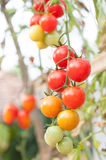 Fresh Cherry Tomatoes in the garden ,Plant Tomatoes Stock Photography