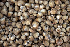 Fresh cherrystone clams Stock Photo