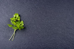 Fresh chervil on dark background. Fresh chervil twig on dark gray slate background Royalty Free Stock Photography