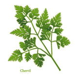 Fresh Chervil Herb. Chervil herb has delicate, lacy leaves with an aroma & taste reminiscent of anise used as a garnish, to flavor fish, salads, soups, omelets Royalty Free Stock Image