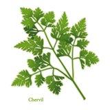 Fresh Chervil Herb Royalty Free Stock Image